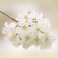 Cherry Tree Blossoms Poster by Sandy Keeton