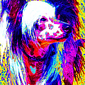 Chinese Crested Dog 20130125v1 Print by Wingsdomain Art and Photography