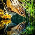 Chipmunk Reflection Print by Bob Orsillo