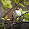 Chipping Sparrow Print by Christina Rollo