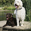 Chocolate And Cream Labradoodles Print by John Daniels