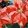 Christmas Poinsettia Magic Poster by David Lloyd Glover