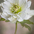 Christmas Rose Poster by Jacky Parker
