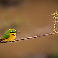 Cinnamon-chested Bee-eater Poster by Adam Romanowicz