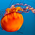 Close up of a Sea Nettle jellyfis Print by Eti Reid