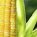 Close-up of corn an ear of corn  Poster by Sandra Cunningham
