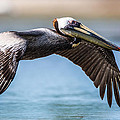 Closeup of a Flying Brown Pelican Print by Andres Leon