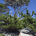 Coastal Trees in California's Point Lobos State Natural Reserve Print by Bruce Gourley