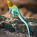 Collared Lizard Print by Inge Johnsson