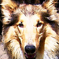 Collie Dog Art - Sunshine Print by Sharon Cummings