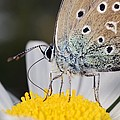 Common blue butterfly Print by Science Photo Library