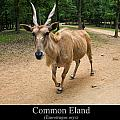 Common Eland Poster by Chris Flees