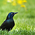 Common Grackle Poster by Christina Rollo