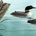 Common Loons Print by Ellen Strope