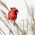Common Northern Cardinal Square Print by Bill  Wakeley