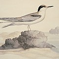 Common tern, 19th century artwork Poster by Science Photo Library