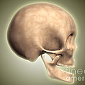 Conceptual Image Of Human Skull, Side Poster by Stocktrek Images