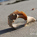 Conch on the beach Print by John Doble