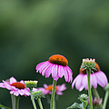 Coneflower Print by Kay Pickens