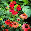 ConeFlowers Echinacea Rudbeckia Print by Rich Franco