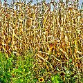 Cornfield by Baywest Imaging