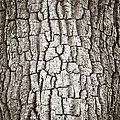 Cottonwood Bark 1 Poster by Marilyn Hunt