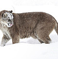 Cougar on a Winter Prowl Poster by Inspired Nature Photography By Shelley Myke