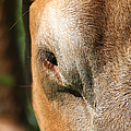 Cow Closeup 7D22397 Poster by Wingsdomain Art and Photography