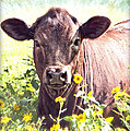 Cow In Wildflowers Poster by Ella Kaye Dickey