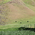 Cows Along The Rolling Hills Landscape of The Black Diamond Mines in Antioch California 5D22319 Poster by Wingsdomain Art and Photography