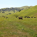 Cows Along The Rolling Hills Landscape of The Black Diamond Mines in Antioch California 5D22327 Poster by Wingsdomain Art and Photography