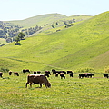 Cows Along The Rolling Hills Landscape of The Black Diamond Mines in Antioch California 5D22328 Poster by Wingsdomain Art and Photography