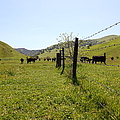 Cows Along The Rolling Hills Landscape of The Black Diamond Mines in Antioch California 5D22339 Poster by Wingsdomain Art and Photography