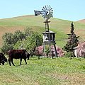 Cows Home On The Ranch At The Black Diamond Mines in Antioch California 5D22345 Poster by Wingsdomain Art and Photography