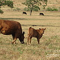 Cows in the Pasture Poster by Maureen J Haldeman