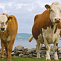 Cows Print by Terry Whittaker