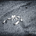 Crab in the Sand Print by John Rizzuto