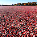Cranberry Bog in New Jersey Print by Olivier Le Queinec