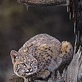 Crouching Bobcat Montana Wildlife Poster by Dave Welling