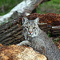 Curious Bobcat  Poster by Jean Clark