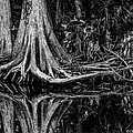 Cypress Roots - BW Poster by Christopher Holmes