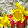 Daffodil Flowers art prints Spring Daffodils Red Tulip Garden Print by Baslee Troutman