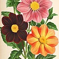Dahlia Coccinea from a Begian book of flora. Print by Philip Ralley