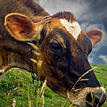 Dairy Cow Eating Grass Print by Bob Orsillo