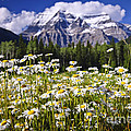 Daisies at Mount Robson Poster by Elena Elisseeva