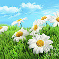 Daisies in grass against a blue sky Print by Sandra Cunningham