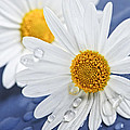 Daisy flowers with water drops Print by Elena Elisseeva