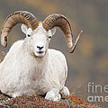 Dall Sheep Ram Print by Tim Grams