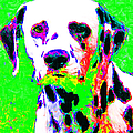 Dalmation Dog 20130125v3 Poster by Wingsdomain Art and Photography