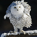 Dance of Glory - Snowy Owl Poster by Inspired Nature Photography By Shelley Myke